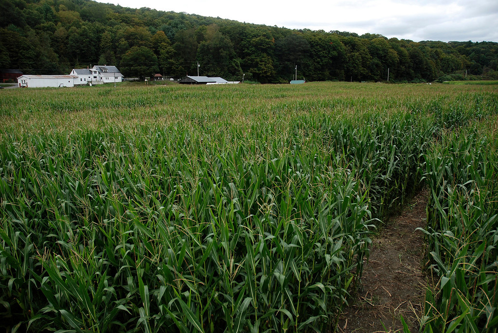 Description of . Kayla Rice/Reformer The corn maze at the Gaines Farm in Guilford.