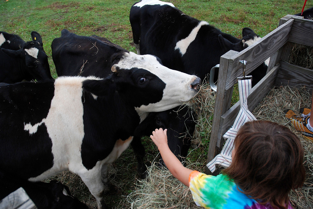Description of . Kayla Rice/Reformer Meadow, 8, feeds cows while on a hayride at Gaines Farm in Guilford.