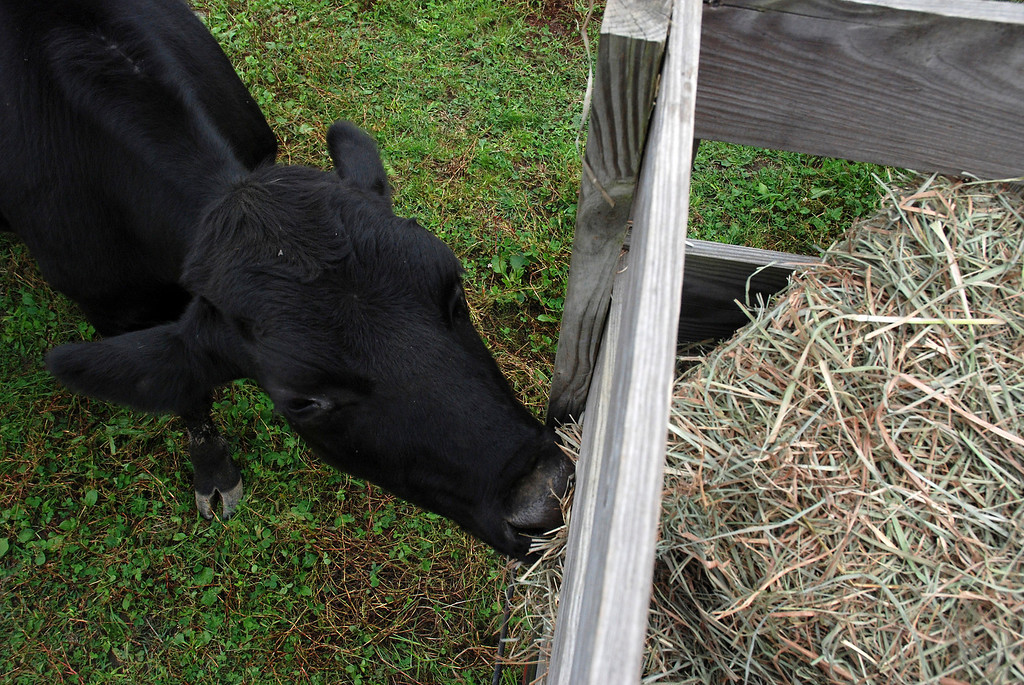 Description of . Kayla Rice/Reformer A cow eats from the side of the wagon during a hayride at Gaines Farm in Guilford.
