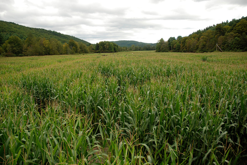 . Kayla Rice/Reformer The corn maze at the Gaines Farm in Guilford.