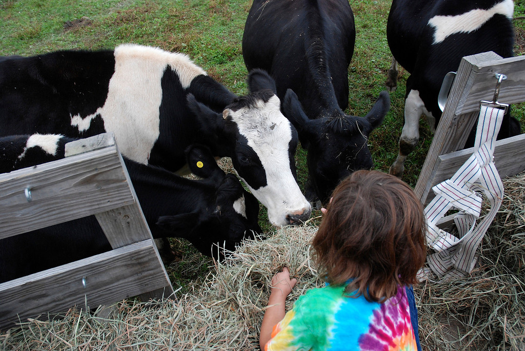 . Kayla Rice/Reformer Meadow, 8, feeds cows while on a hayride at Gaines Farm in Guilford.
